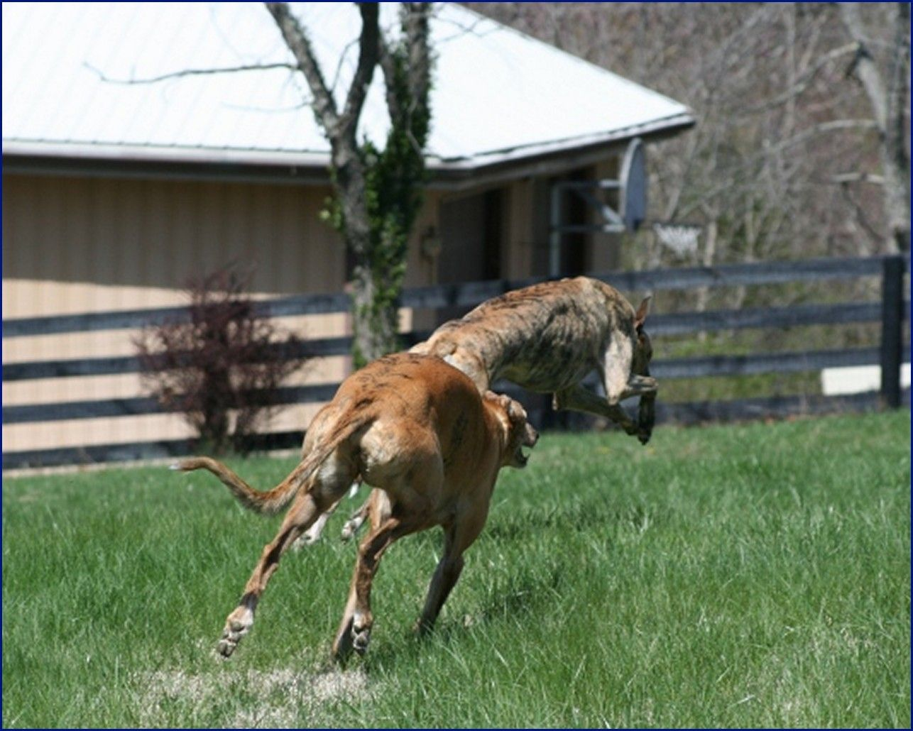 Greyhound-Adoption-JS1.jpg
