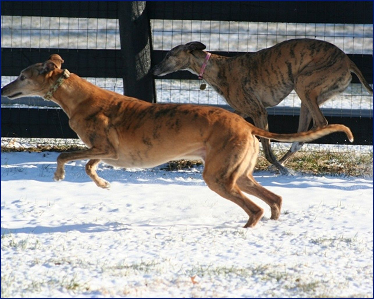 Greyhound-Adoption-JS3.jpg